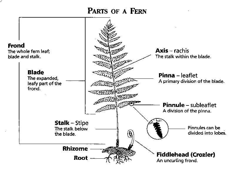 plant kingdom class 11 notes